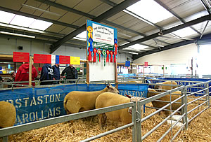 Edstaston Charollais Sheep at the Stafford Show